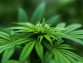 The Necessity Of Microbial Contamination Testing For Cannabis Products In The Market